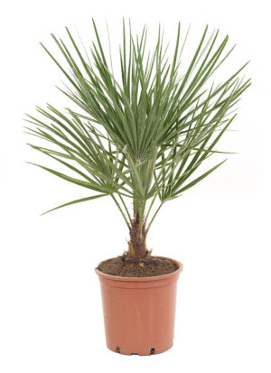 Dwergwaaierpalm in pot