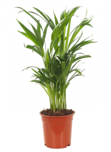 areca in pot